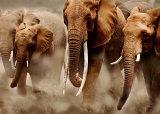 Elephant, National Amboseli Park, Kenya Kunstdrucke