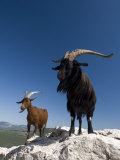 Mountain Goats, Gorges Du Verdon, Provence, France, Europe Photographic Print by Sergio Pitamitz