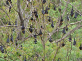 Flying Foxes Resting in Tree, Yarra Bend Park, Melbourne, Victoria, Australia, Pacific Photographic Print by Jochen Schlenker