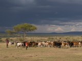 Masai with Cattle, Masai Mara, Kenya, East Africa, Africa Photographic Print by Sergio Pitamitz