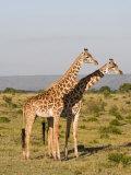 Masai Giraffe (Giraffa Camelopardalis), Masai Mara National Reserve, Kenya, East Africa, Africa Photographic Print by Sergio Pitamitz
