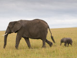 African Elephant and Baby (Loxodonta Africana), Masai Mara National Reserve, Kenya Photographic Print by Sergio Pitamitz