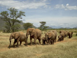 Line of African Elephants (Loxodonta Africana), Samburu National Reserve, Kenya, East Africa Photographic Print by James Hager