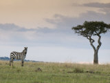 Common Zebra (Equus Quagga), Masai Mara National Reserve, Kenya, East Africa, Africa Photographic Print by Sergio Pitamitz