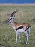 Thomson Gazelle (Gazella Thomsoni), Masai Mara National Reserve, Kenya, East Africa, Africa Photographic Print by Sergio Pitamitz