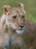 Lioness (Panthera Leo), Masai Mara National Reserve, Kenya, East Africa, Africa Photographic Print by Sergio Pitamitz