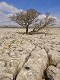 Tree Growing Through the Limestone, Yorkshire Dales National Park, Yorkshire, England Photographic Print by Neale Clark