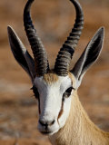 Springbok (Antidorcas Marsupialis), Kgalagadi Transfrontier Park, South Africa Photographic Print by James Hager