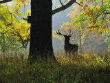 Deer, Favorite Park, Ludwigsburg, Baden-Wurttemberg, Germany, Europe Fotografisk tryk af Jochen Schlenker