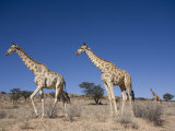 Giraffes (Giraffa Camelopardalis), Kgalagadi Transfrontier Park, Northern Cape, South Africa Photographic Print by Ann & Steve Toon