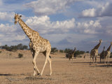 Giraffe (Giraffa Camelopardalis), Kgalagadi Transfrontier Park, Northern Cape, South Africa, Africa Photographic Print by Ann & Steve Toon