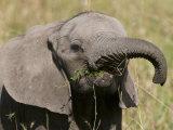 African Elephant Baby (Loxodonta Africana), Masai Mara National Reserve, Kenya, East Africa, Africa Photographic Print by Sergio Pitamitz