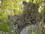 Leopards (Panthera Pardus), Masai Mara National Reserve, Kenya, East Africa, Africa Photographic Print by Sergio Pitamitz