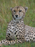 Cheetah (Acinonyx Jubatus), Masai Mara National Reserve, Kenya, East Africa, Africa Photographic Print by Sergio Pitamitz