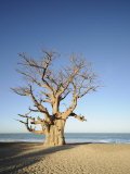 Robert Harding - Baobab Tree, Sine Saloum Delta, Senegal, West Africa, Africa Fotografická reprodukce