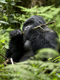 Silverback Mountain Gorilla (Gorilla Gorilla Beringei), Group 13, Volcanoes National Park, Rwanda Photographic Print by James Hager