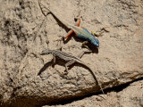 Male and Female Augrabies Flat Lizard (Platysaurus Broadleyi), Augrabies Fall National Park, Africa Photographic Print by James Hager