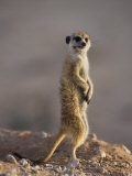 Meerkat Sentinel (Suricatta Suricata), Kgalagadi Transfrontier Park, Northern Cape, South Africa Photographic Print by Ann & Steve Toon