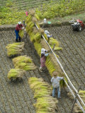 Rice Harvest, Hanging Out Cut Rice to Dry, Hiraizumi, Iwate-Ken, Northern Honshu, Japan, Asia Photographic Print by Tony Waltham