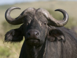 Cape Buffalo (Syncerus Caffer), Masai Mara National Reserve, Kenya, East Africa, Africa Photographic Print by Sergio Pitamitz