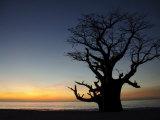 Baobab Tree, Sine Saloum Delta, Senegal, West Africa, Africa Fotografisk tryk af Robert Harding