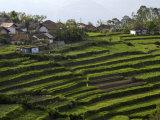 Terrace Fields on Farms, Koviloor, Near Munnar, Kerala, India Photographic Print by Balan Madhavan