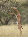Male Gerenuk (Litocranius Walleri), Samburu National Reserve, Kenya Photographic Print by James Hager