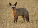 Bat-Eared Fox (Otocyon Megalotis), Masai Mara National Reserve, Kenya, East Africa, Africa Photographic Print by James Hager