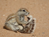 Cape Ground Squirrel (Xerus Inauris) Grooming, Kgalagadi Transfrontier Park, South Africa Photographic Print by James Hager