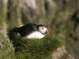 Puffin (Fratercula Arctica) on Cliffs of Latrabjarg, Westfjords, Iceland, Polar Regions Photographic Print by Michael Runkel