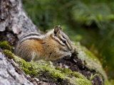 Yellow Pine Chipmunk (Eutamias Amoenus), Manning Provincial Park, British Columbia, Canada Photographic Print by James Hager