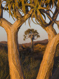 Quiver Trees (Kokerboom) (Aloe Dichotoma), Augrabies Falls National Park, South Africa Photographic Print by Ann & Steve Toon