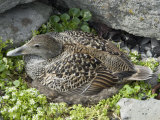 Eider Duck Sitting on Nest Made of Eider Down, Vigur Island, Isafjordur, Iceland, Polar Regions Photographic Print by Tony Waltham
