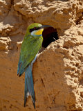 Swallow-Tailed Bee-Eater (Merops Hirundineus), Kgalagadi Transfrontier Park, South Africa Photographic Print by James Hager