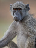 Chacma Baboon (Papio Ursinus), Kruger National Park, South Africa, Africa Photographic Print by James Hager