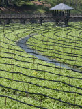 Japanese Horseradish Plants (Wasabi), Growing at the Daio Wasabi Farm in Hotaka, Nagano, Japan Photographic Print