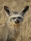 Bat-Eared Fox (Otocyon Megalotis), Masai Mara National Reserve, Kenya, East Africa, Africa Photographic Print by James Hager