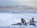Northumberland Blackface Sheep in Snow, Tarset, Hexham, Northumberland, United Kingdom, Europe Fotografie-Druck von Ann & Steve Toon