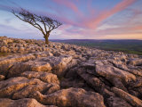 Twisted Tree, Twistleton Scar End, Ingleton, Yorkshire Dales National Park, England, United Kingdom Photographic Print by Neale Clark