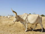 Brahman Cattle, Senegal, West Africa, Africa Photographie par Robert Harding