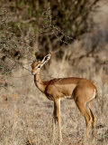 Female Gerenuk (Litocranius Walleri) Feeding, Masai Mara National Reserve, Kenya, East Africa Photographic Print by James Hager