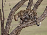 Leopard (Panthera Pardus) in a Tree, Masai Mara National Reserve, Kenya, East Africa, Africa Photographic Print by James Hager