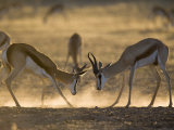 Springbok Sparring (Antidorcas Marsupialis), Kgalagadi Transfrontier Park, South Africa, Africa Photographic Print by Ann & Steve Toon