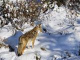 Coyote Walking Through Snow, Kananaskis Country, Alberta, Canada, North America Photographic Print by Jochen Schlenker