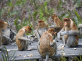 Proboscis Monkeys, Labuk Bay Proboscis Monkey Sanctuary, Sabah, Borneo, Malaysia, Southeast Asia Photographic Print by Christian Kober