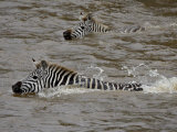 Common Zebra (Burchell&#39;s Zebra) Crossing the Mara River, Masai Mara National Reserve, Kenya Photographic Print by James Hager