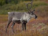Porcupine Caribou (Grant's Caribou) (Rangifer Tarandus Granti) Cow, Denali National Park, Alaska Photographic Print by James Hager