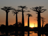 Avenue De Baobabs at Sunset, Madagascar, Africa Photographic Print by Michael Runkel