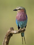 Lilac-Breasted Roller (Coracias Caudata), Serengeti National Park, Tanzania, East Africa, Africa Papier Photo par James Hager