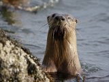 River Otter (Lutra Canadensis), Near Nanaimo, British Columbia, Canada, North America Photographic Print by James Hager